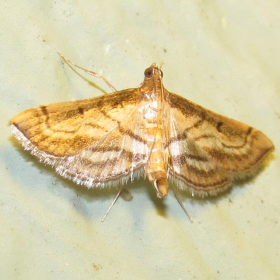 Trapeze Moth, #5288 - Cnaphalocrocis trapezalis