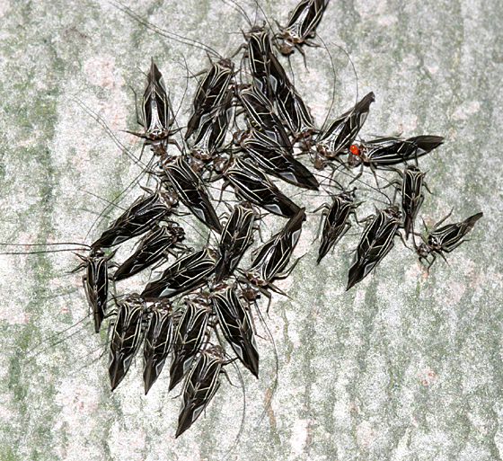 Group of bark lice or
