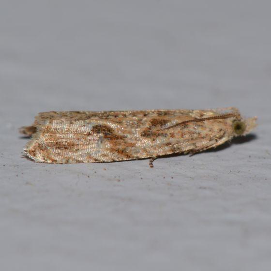 Probably Bactra sp. - Bactra furfurana