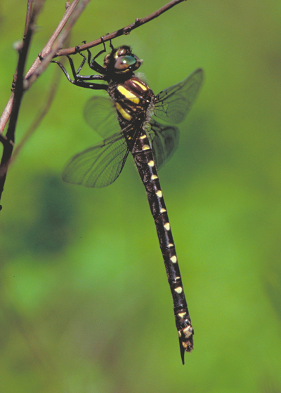 female Twin-spotted Spiketail - Cordulegaster maculata - female