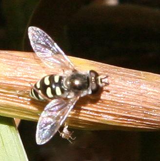 Eupeodes (sp.) - which? - Eupeodes volucris