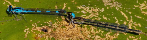 Tule Bluets, mating - Enallagma carunculatum - male - female