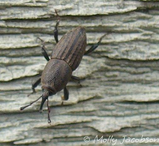 weevil - Sphenophorus venatus