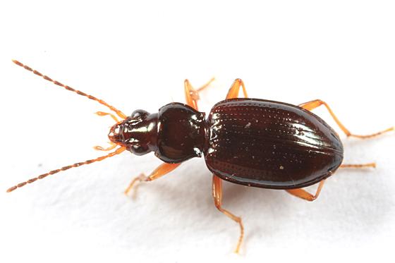 Ground Beetle - Bembidion lacunarium