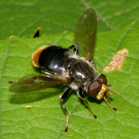 Syrphid - Blera analis - male