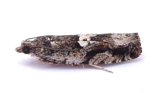 Pennsylvania Moth  - Chimoptesis gerulae