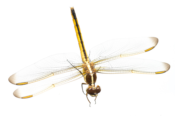 Golden-winged Skimmer - Libellula auripennis - Libellula auripennis - female