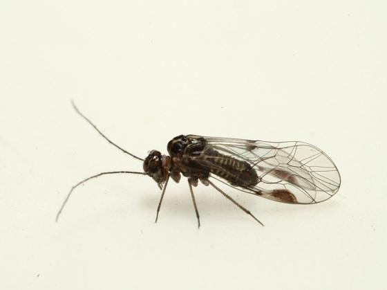 Blaste longipennis (Banks) 1918 - Blaste longipennis - male