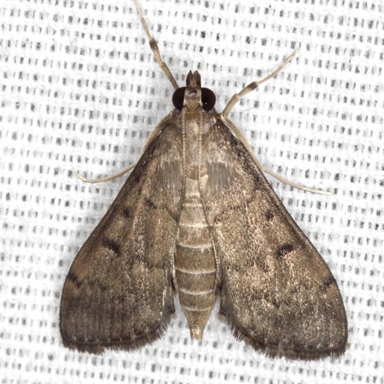 Dusky Herpetogramma Moth - Hodges #5274 - Herpetogramma phaeopteralis