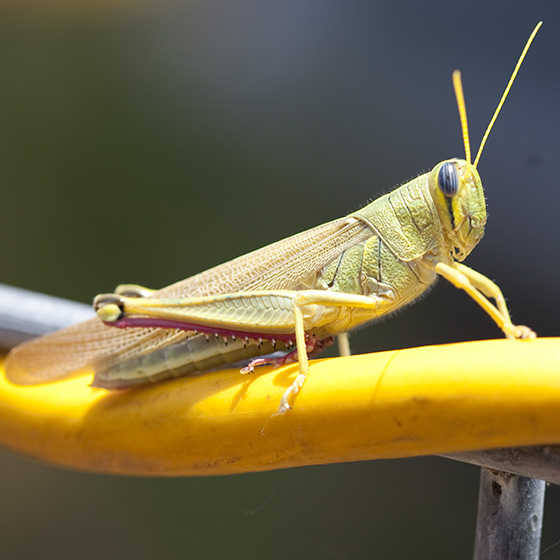 Big Green Grasshopper - Schistocerca lineata - female
