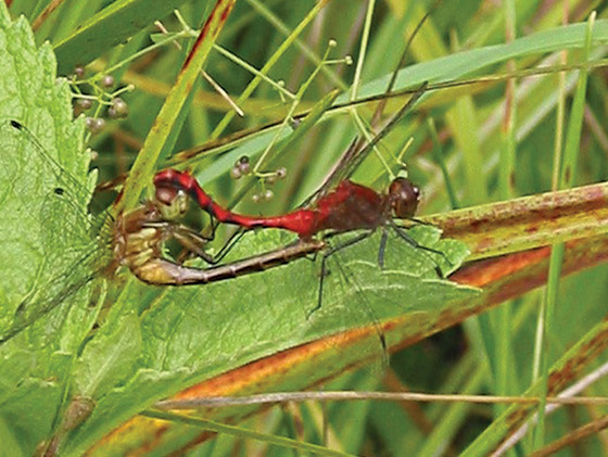 Mating Meadowhawks? - Sympetrum obtrusum - male - female