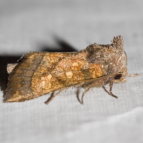 Burdock Borer Moth - Papaipema cataphracta