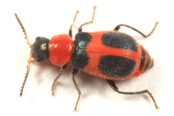 Soft-winged Flower Beetle - Collops quadrimaculatus - female