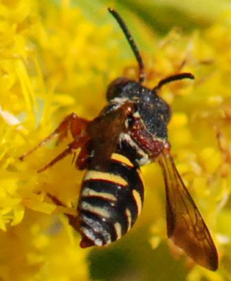 Little Wasp? on Goldenrod - Epeolus carolinus