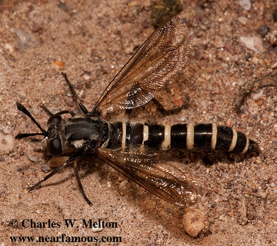 Mydas Fly - Nemomydas venosus - male