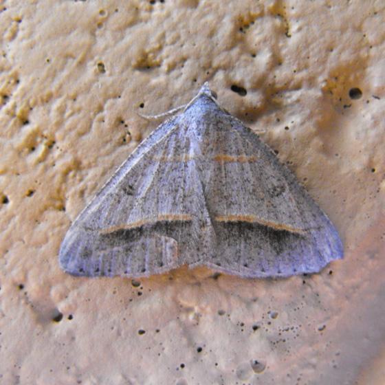 San Bernardino forest moth 6 - Digrammia neptaria
