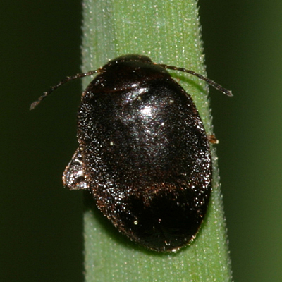 Leaf Beetle? - Scirtes tibialis