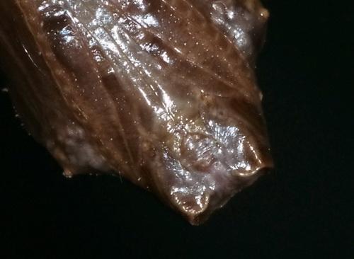 Viceroy Chrysalis ? - Limenitis archippus