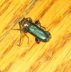 bug - Phymatodes testaceus