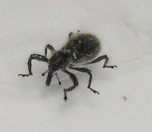 Weevil - Myrmex scrobicollis