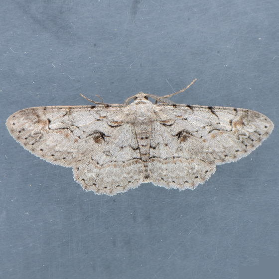Moth for ID - Iridopsis fragilaria - male