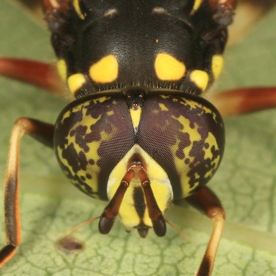 syrphid - Spilomyia sayi - male