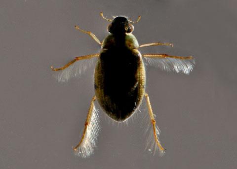 Water Beetle - Berosus