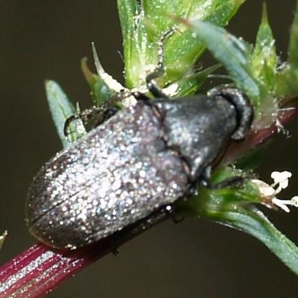 Rhipiphoridae? - Ptilophorus wrightii