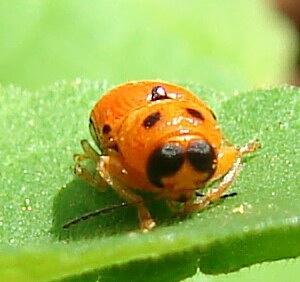 Beetle - Griburius equestris