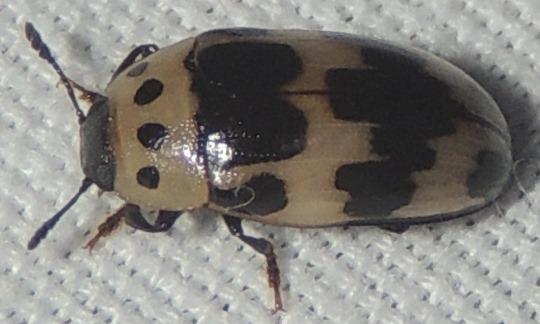 Black and White Beetle - Ischyrus quadripunctatus