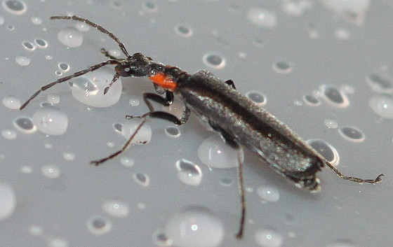 Small black beetle with red ears - Dichelotarsus macer - female