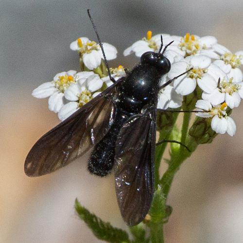 Bee Fly? - Thevenetimyia muricata