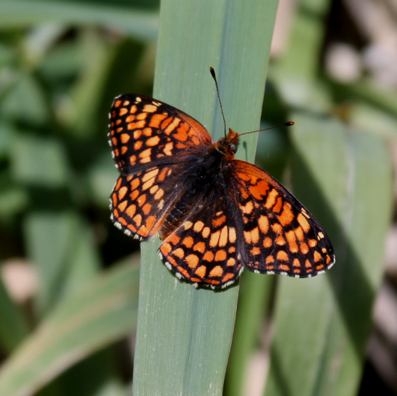 Northern Checkerspot (Chlosyne palla)?, male? - Chlosyne palla - male