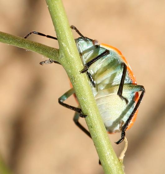 Stink bug nymph - Chlorochroa