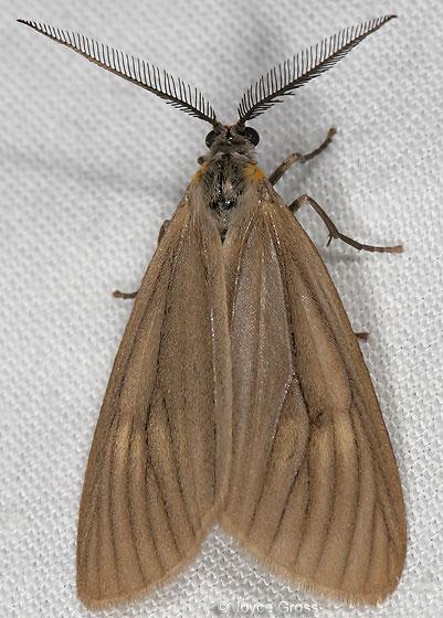 California Oak Moth - Phryganidia californica - male