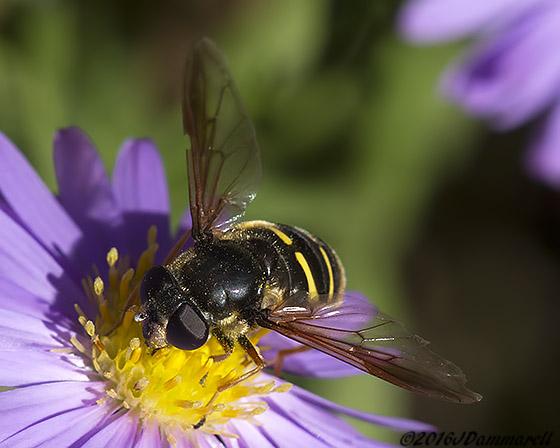 Chrysotoxum? - Sericomyia chalcopyga - female