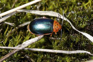 unidentified Chrysomelid Beetle  - Kuschelina thoracica