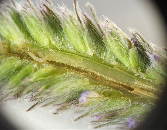 Inflorescence borer, hoary vervain - Melanagromyza new-species-on-verbena
