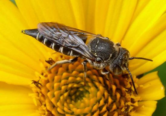 Megachile? - Coelioxys modestus - female