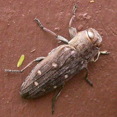 Chrysobothris basalis LeConte - Chrysobothris basalis