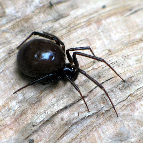 False Black Widow - Steatoda grossa - female