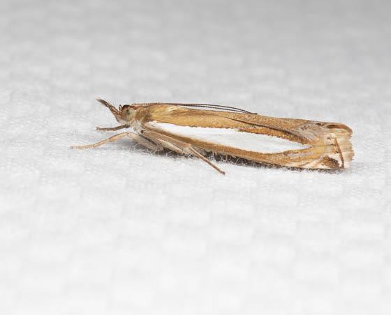 moth ID? - Crambus