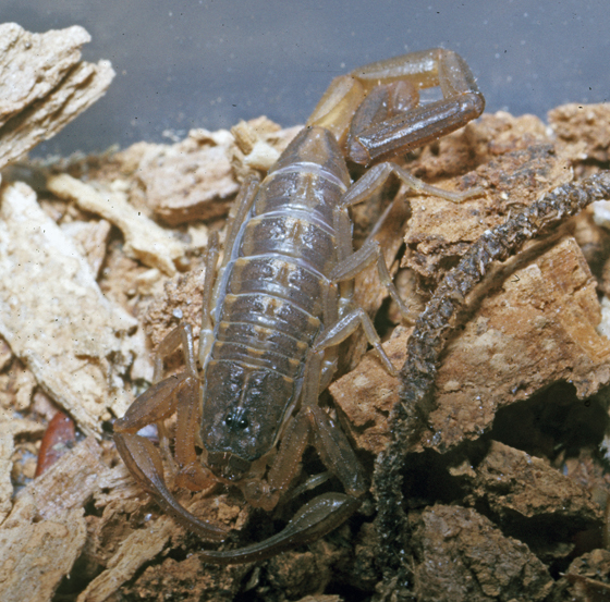 Florida Scorpion - Centruroides hentzi - male
