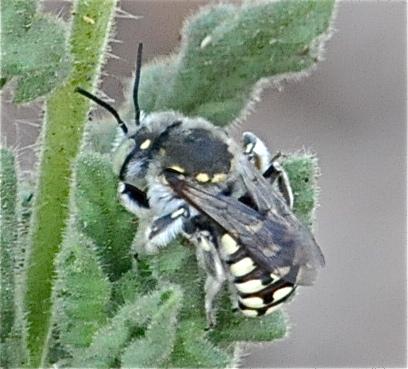 Bees - Anthidium