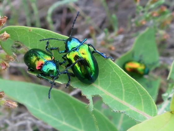 Chrysomelidae - Chrysochus auratus