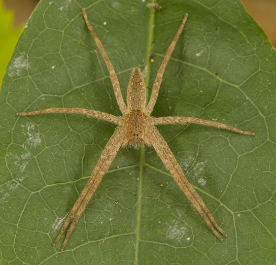 Congaree Bluffs Spider - Pisaurina mira
