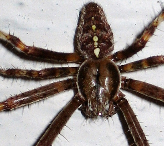Male Cross Spider - Araneus diadematus - male