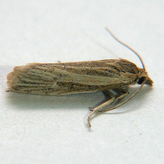 Eucosma monogrammana - Hodges #3046 - Pelochrista mediostriata
