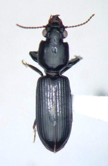 Clivina dentipes