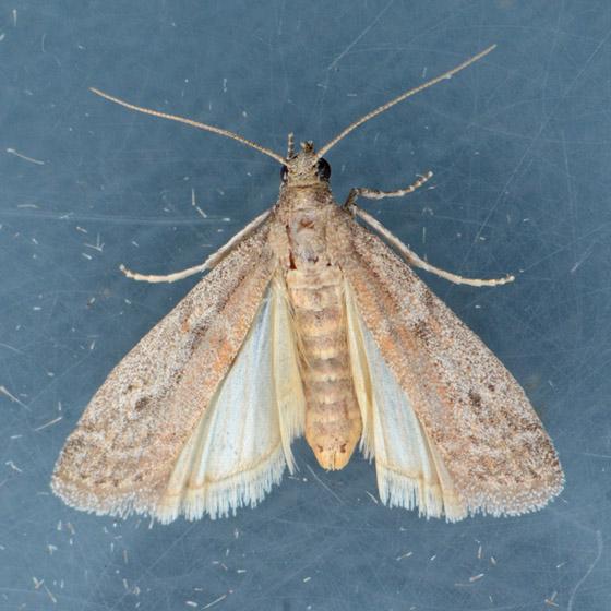 5720  - Myelopsis alatella